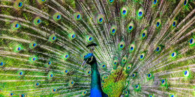 A peacock strutting his stuff