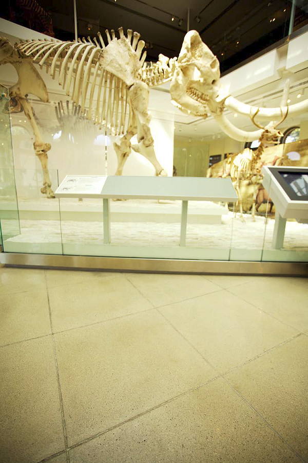A look at the dinosaurs skeletons contrasting against the polished concrete floors.
