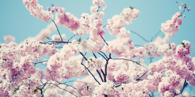 Cherry blossoms on a sky blue backdrop.