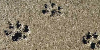 Dog foot prints in drying concrete. Photo courtesy of Rick Smith