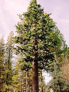 Tall evergreen tree that has been made from fiberglass reinforced concrete stands near Lake Tahoe.
