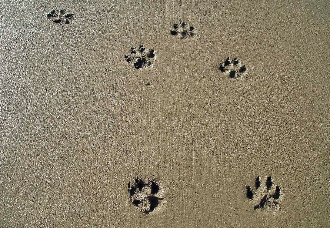 six paw prints in we concrete slab Photo courtesy of Rick Smith